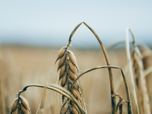 crops3